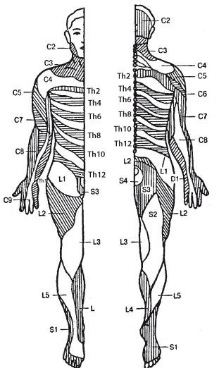Сегменты человека