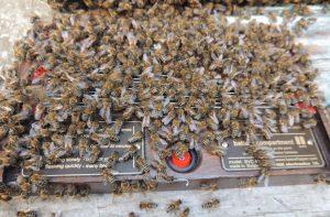 Аппарат для получения пчелиного яда