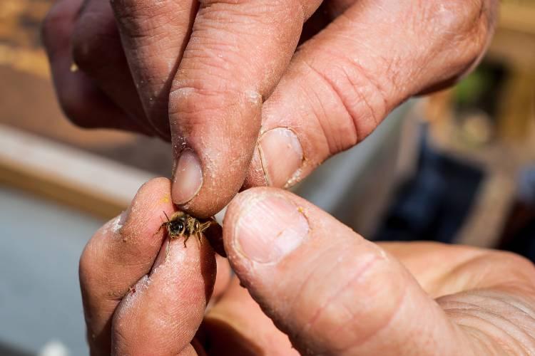 Лечение артроза пчелиным ядом