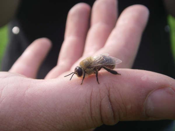 Лечение подагры пчелиным ядом